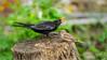 T'as pas interet à revenir (JB89100) Tags: 2018 6kphotomode effetsspeciaux merles moineau oiseaux quoi