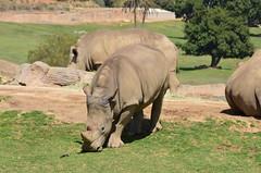 DSC_5561 (Andrew Nakamura) Tags: animal mammal rhino rhinoceros whiterhino southernwhiterhinoceros sandiegozoosafaripark safaripark escondido