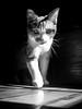 Cat Walk (Nicholas Erwin) Tags: animal cat luke kitty kitten feline windowlight shadowplay shadow light sunlight catwalk contrast lowkey blackandwhite monochrome bw mono samsunggalaxys7 galaxys7 fav10 fav25 fav50