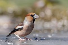 Grosbec casse-noyaux (sfrancois73) Tags: oiseau jardin affût grosbeccassenoyaux faune
