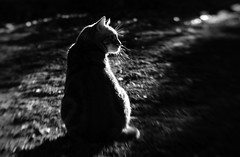 Morgenstund hat Gold im Mund (Anne Worner) Tags: anneworner cat feline tomcat male tabby whiskers morning rimlight monochrome blackandwhite bw silverefex lensbaby lensbabycomposerpro doubleglass bend blur bendy littledoglaughednoiret