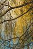 New shoots, deep roots.   #theborder #heart #yellow #tree #graphic #nature #botanical #foliage #light #art #patterns #movement #weepingwillow #plantsinfocus #Flickr #landscape #urbanjungle #naturelover #plantsofFlickr #nature #plantlife #beauty #sky #leav (jophipps1) Tags: sky art theborder beauty nature patterns yellow tree heart foliage flickr plantlife plantsinfocus naturelover botanical leaves light weepingwillow plantsofflickr detail graphic movement urbanjungle landscape