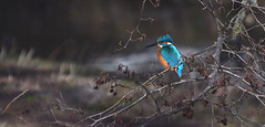 Kingfisher (ijsvogel) (moniquedoon) Tags: birds wildlife kingfisher ijsvogel birdwatching blue nature natuur vogels natureisbeautiful beautiful earlybirds vroegevogels natureperfection