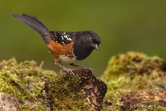 Spotted Towhee (Martin Dollenkamp) Tags: birds britishcolumbia canada nature pipilomaculatus spottedtowhee vancouverisland