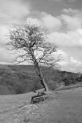 StandingOut (Tony Tooth) Tags: nikon d7100 nikkor 35mm f18g tree bw blackandwhite monochrome countryside landscape danebridge staffordshiremoorlands staffs staffordshire england