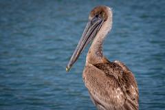 brown pelican juvenile (robertskirk1) Tags: nature outdoor wildlife animal bird brown pelican water sebastian inlet state park florida fl juvenile standing