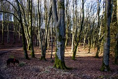 Kiri and the beeches (allybeag) Tags: setmurthy woods forest trees kiri dog beeches beechtrees bare leafless winter