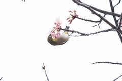 _3188183.jpg (plasticskin2001) Tags: mejiro sakura bird flower