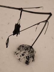 Belledonne, 2017 (Olivier BERTRAND) Tags: vercors belledonne blackandwhite blackandwhitephotography digitalphotography forest forêt hiver olivierbertrand olympusem5markii olympus 25mm lumix25mm panasoniclumix25mm isère landscape monochrome micro43 noiretblanc nature naturallight neige paysage
