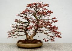 DSC_9119 (singhsatvinder69) Tags: bonsai nature gardening horticulture japan liveart art plants trees miniature