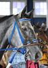 2017-11-03 (5) r1 #8 Mud Cat (JLeeFleenor) Tags: photos photography md maryland marylandracing marylandhorseracing laurelpark horseracing outside outdoors horses thoroughbreds equine equestrian cheval cavalo cavallo cavall caballo pferd paard perd hevonen hest hestur cal kon konj beygir capall ceffyl cuddy yarraman faras alogo soos kuda uma pfeerd koin حصان кон 马 häst άλογο סוס घोड़ा 馬 koń лошадь grey gray blaze