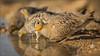 Kronenflughuhn (Crowned sandgrouse) (tzim76) Tags: crowned sandgrouse pterocles coronatus kronenflughuhn israel negev wüste wasser wasserstelle hahn durst wildlife hide nature birding outdoor