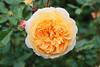 Rosa 'Crown Princess Margaretha' - Kew Gardens (Ruud de Block) Tags: kewgardens ruuddeblock royalbotanicgardens rosaceae rosacrownprincessmargaretha rosa crown princess margaretha