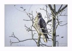 Eye to eye (Krasne oci) Tags: bird hawk wildlife texturedphoto artphotography photographicart evabartos nature outdoors