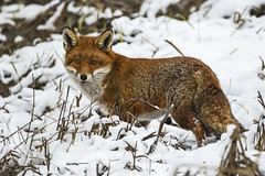 Fox in the snow - Like we would be so lucky! (Ann and Chris) Tags: amazing animal cute eyes elusive fox gorgeous close cold snow predator brandon brandonmarsh unusual outdoors wildlife wild