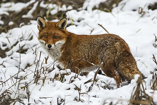 Fox in the snow - Like we would be so lucky!