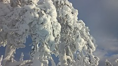 Branches covered with snow (RundgrenR) Tags: kuertunturi fell lapland finnland