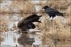The Eagle and the Raven 6990 (maguire33@verizon.net) Tags: bosquedelapache bosquedelapachenationalwildliferefuge chihuahuanraven baldeagle bird birdofprey raptor raven wetlands wildlife sanantonio newmexico unitedstates us