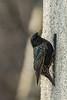 Star (rogerkreja) Tags: star sturnus vulgaris prachtkleid männchen vogel tier