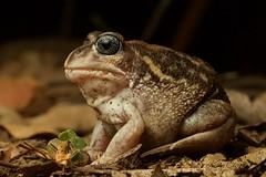 Heleioporus eyrei (Kel_Clark) Tags: macro canon natgeo australianfrogs burrowingfrog limnodynastidae amphibians frog heleioporus