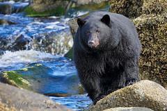 Big Guy (PamsWildImages) Tags: bc britishcolumbia beautiful blackbear canada canon nature naturephotographer wildlife wildlifephotographer pamswildimages pammullins vancouverisland