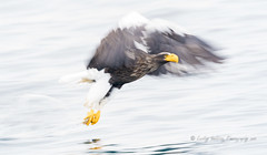 Steller's at speed (pixellesley) Tags: bird raptor birdwatching fishing hunting flying action panning slowshutter wings blur ocean sea water reflection speed power stellersseaeagle eagle wildlife free nature lesleygooding haliaeetuspelagicus
