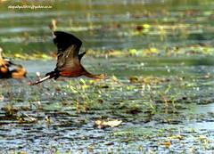 IMG_0926 Glossy Ibis (Plegadis falcinellus) (vlupadya) Tags: greatnature anumal aves fauna indianbirds glossy ibis plegadis malyadi karnataka