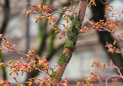 Color Tree Mix & Lichen 2 of 2 (Orbmiser) Tags: em1 mirrorless olympus ore portland m43rds tree branches lichen