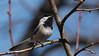 Chickadee's Call (Keztik) Tags: mésangeàtêtenoire blackcappedchickadee poecileatricapillus oiseau bird nature wildlife animal singing chante song nikon d7500 quebec canada spring printemps