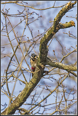 _DSC0168_Pic épeiche (patounet53) Tags: dendrocoposmajor greatspottedwoodpecker picépeiche picidés piciformes bird oiseau