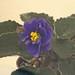 非洲紫羅蘭 Saintpaulia Rob's Astro Zombie     [香港花展 Hong Kong Flower Show]