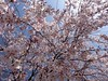 さくら cherry blossom 広島市南区松川町 松川公園 2015年3月30日 (hiroshimaphotography) Tags: ساكورا cherryblossom sakura cerezo ساکورا 벚꽃 pokokbungasakura сакура 樱花 sakuro bloesem cerejeira սակուրա fiorediciliegio japanischekirschblüte საკურა ചെറിബ്ലോസം ချယ်ရီပန်း ซากุระ seresangnamumulaklak hoaanhđào