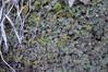 Liverworts (Conocephalum conicum?) and mosses (Kyle Hartshorn) Tags: cold winter unitedstates northamerica ohio lickingcounty blackhandgorge lickingriver fieldwork gorge river botany plant plants bryology bryophytes liverwort moss conocephalum conocephalumconicum marchantiales