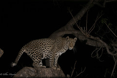 Leopard (mayekarulhas) Tags: maruleng limpopo southafrica za leopard wildlife wild canon animal carnivore