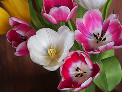 Tulip Bunch (Smiffy'37) Tags: tulips flowers colourful closeup indoors macrolens olympus nature