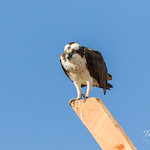 Osprey chows down on breakfast thumbnail