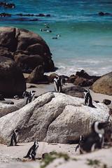 African Penguins (soomness) Tags: simonstown capetown southafrica travel travelphotography penguins penguin fujifilmxt2 xt2 xseries xf55200mmf3548rlmois fujifilm fujinon fuji beach bay