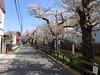 18o5889 (kimagurenote) Tags: 桜 sakura ソメイヨシノ prunus cerasus cherry blossom flower 二ヶ領用水 nikaryoyosui 川崎市多摩区 宿河原 shukugawara tamakawasaki