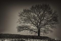 Sepi (Svendborgphoto) Tags: tree nikkor nature sonya7ii 85mm14 aisnikkor