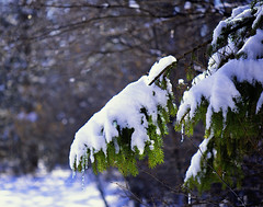 Winter Green (Photositively Illuminating Photography) Tags: snow winter green conifer cold weather