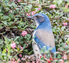 Dinning out. (Omygodtom) Tags: outdoors nikon70300mmvrlens d7100 scrubjay bird bokeh blue perspective wildlife natural