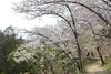 18o8089 (kimagurenote) Tags: 桜 sakura cherry blossom prunus cerasus flower tree 多摩森林科学園 tamaforestsciencegarden 東京都八王子市 hachiojitokyo