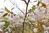 18o8109 (kimagurenote) Tags: 桜 sakura cherry blossom prunus cerasus flower tree 多摩森林科学園 tamaforestsciencegarden 東京都八王子市 hachiojitokyo