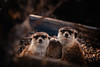 Awkward family photo (Steve Balkwill) Tags: meerkat meerkats family toronto canada zoo animals cute