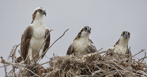 One Adult and two Juvenile Western Ospreys (Pandion haliaetus)