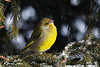 Verdone (silvano fabris) Tags: canon natura nature photonature wildlife animali animals birds uccelli verdone