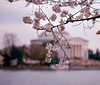 National  Cherry Blossom 2018 (KrsnaPixels) Tags: national cherry blossom 2018 tidal jefferson