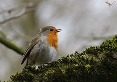 Rotkehlchen 2 (svensonkra26) Tags: rotkehlchen singvogel frühjahr gesang vogel outdoor wald