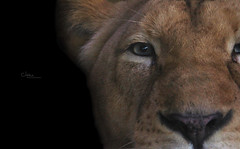 The Power (Instants of life) Tags: lioness lion animal zoo bigcat closeup eyes pantheraleo
