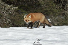 Playing in  the snow (Seventh day photography.ca) Tags: redfox fox animal predator mammal wildanimal wildlife winter snow ontario canada